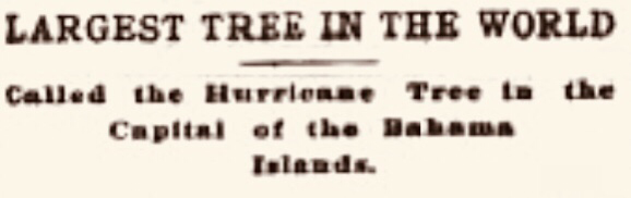 Largest Tree In the World – Nassau 1900