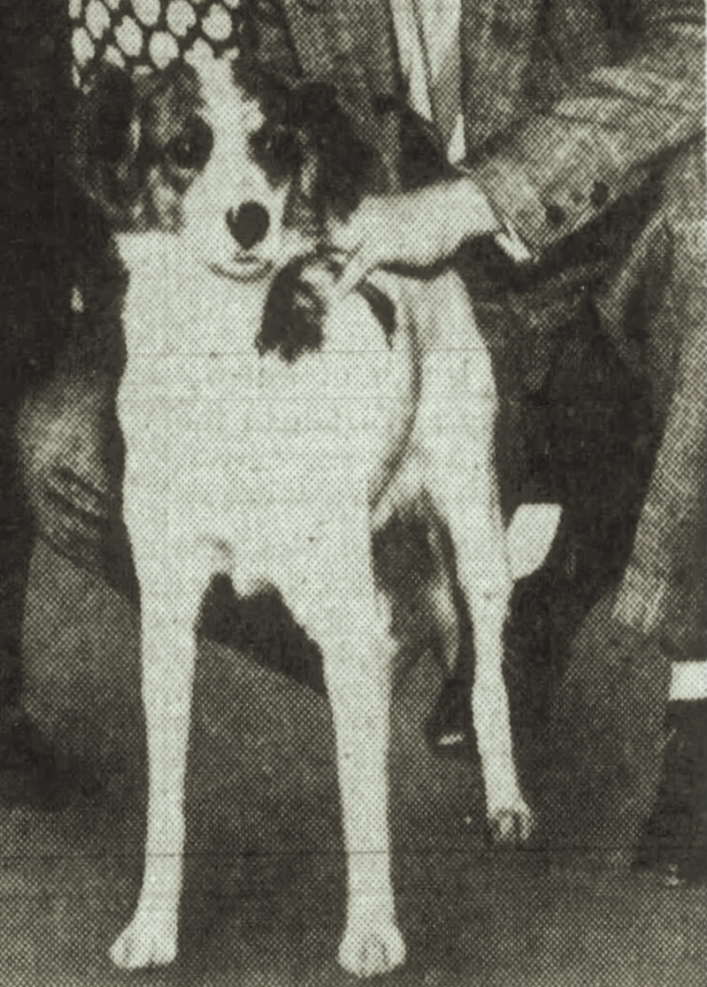 """""""Spottie"""" Most Famous Potcake Adopted From Nassau By Movie Actor Peter Lawford 1938"""